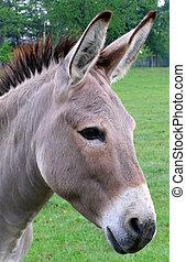Donkey Portrait - donkey closeup