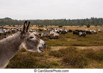 Donkey protects sheep herd from wolf in luneburg heather