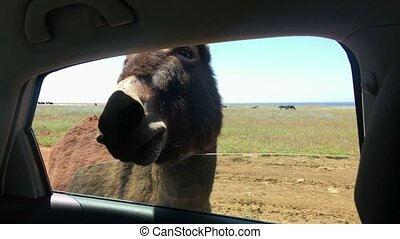 Donkey view from car cabin - Donkey safari view from car...