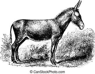 Donkey, vintage engraving. - Donkey on field, vintage...