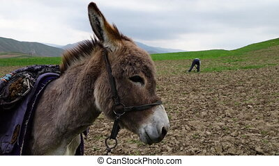Donkey with Man in Farmland - Handheld, close up shot of a...
