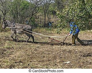 Donkey work hard in the garden