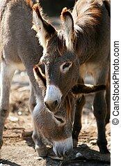 Donkeys couple portrait