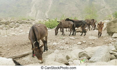 Donkeys eat in the nepalese village between mountains. ...