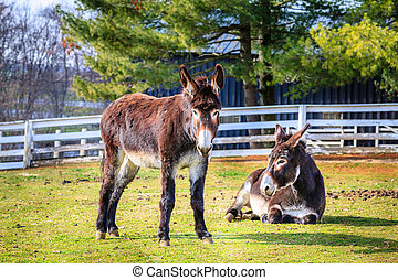 Donkeys on the farm