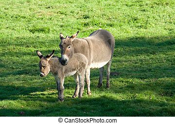 Donkeys - Two donkeys in the meadow with sun