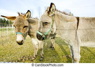 donkeys, Vermont, USA