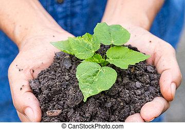 donna, mani, presa a terra, uno, verde, giovane pianta