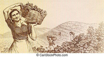 donna, uva, raccolta