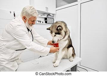 donner, malamute, médicaments, vétérinaire, clinic.