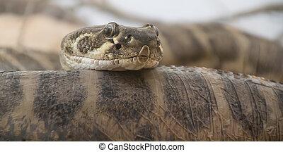 Gabon Serpent Vipere Canstock