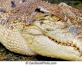 close up of salt water crocodile in Australia