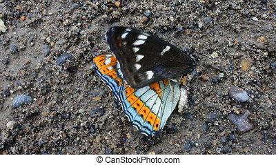dood, vlinder, groot, onderkoning