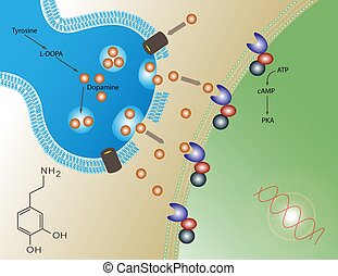 Dopamine - Illustration of the molecular function of...