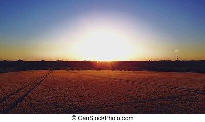 doré, aérien, lumière soleil, champ, blé, vue