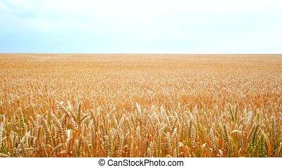 doré, balance, blé, crops., grain, field., récolte, vent, oreilles