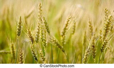doré, blé, fields.