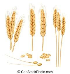 doré, blé, sain, realistic., collection, nourriture, vecteur, grain, organique, agriculture