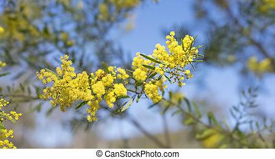 doré, brisbane, printemps, canisse, jaune, clair, fimbriata, fleurs, acacia