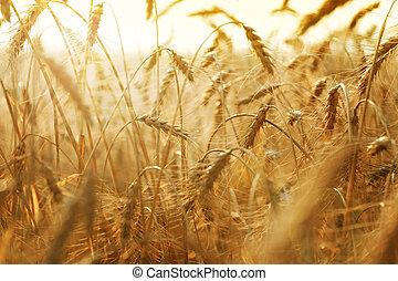 doré, champ blé