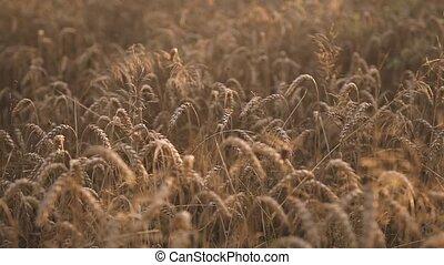 doré, champs blés