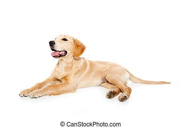 doré, chien, isolé, blanc, chiot, retriever