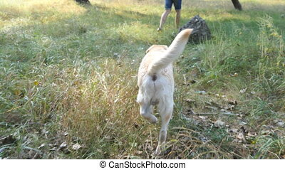 doré, extérieur, labrador, tail., dos, propriétaire, jeune, champ, derrière, man., sien, nature, courant, remuer, arrière, retriever, chien, jogging, suivre, mâle, ou, vue