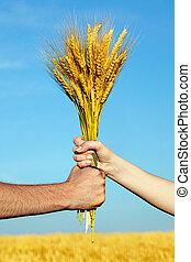 doré, femme, blé, tenue, paquet, mains humaines, oreilles
