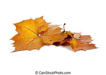 doré, feuilles, fond blanc, automne