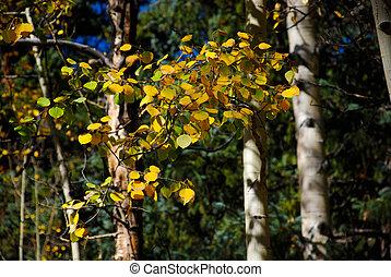 doré, feuilles, tremble