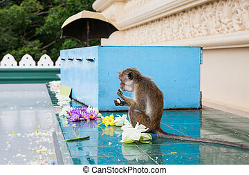 doré, lanka., singe, dambulla, sri, mange, temple, fleurs