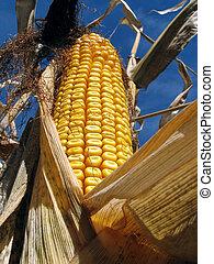 doré, maïs, champ maïs