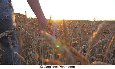 doré, marche, mûre, sur, par, femme, fin, girl, caresser, lent, arrière-plan., seigle, jeune, lumière soleil, champ, blé, main, en mouvement, céréale, arrière, meadow., haut, mouvement, croissant, sunset., vue
