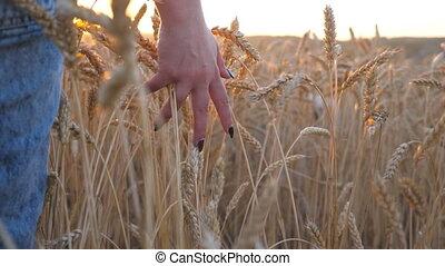 doré, marche, pré, mûre, sur, jeune, chien, par, femme, fin, girl, lent, elle, sibérien, champ, crop., blé, main, toucher, en mouvement, céréale, haut, mouvement, croissant, husky, oreilles, sunset.