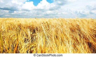 doré, pointes, blé, spikelets, mûre, mouvementde va-et-vient, seigle, jaune, day., champ, pendant, organique, wind.