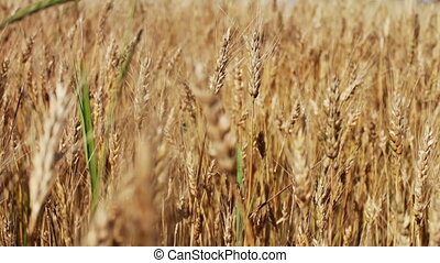 doré, pointes, champ blé, vaciller, vent