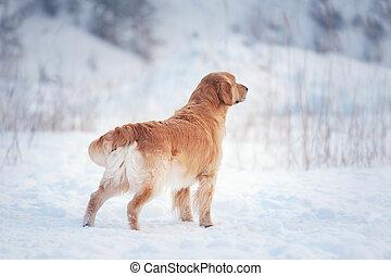 doré, poser, neige, fond, retriever