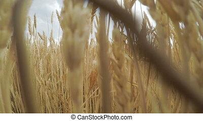 doré, prêt, blé, spikelets, haut, champ, appareil photo, en...