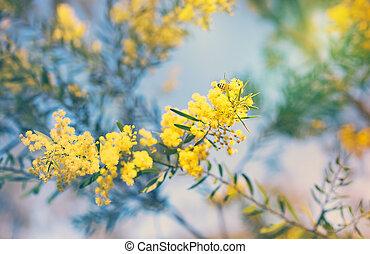 doré, printemps, canisse, jaune, australien, fleurs
