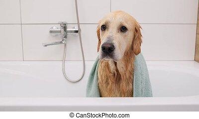 doré, sous, retriever, serviette, chien, mouillé