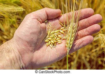 doré, sur, récolte, champ, main