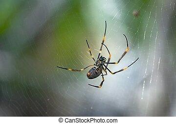 doré, tisserand, spider orbe