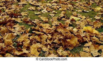 doré, tomber, entiers, feuilles