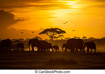 doré, troupeau, coucher soleil, éléphants africains