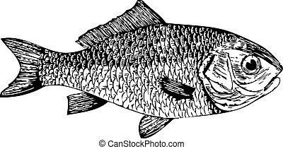 Dorade, goldfish (Cyprinus auratus) - Vector traced ...