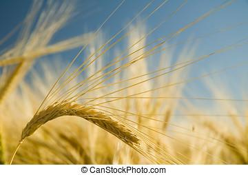 dorado, 2, trigo, maduro