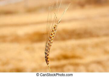 dorado, campo de trigo, cereal, pincho