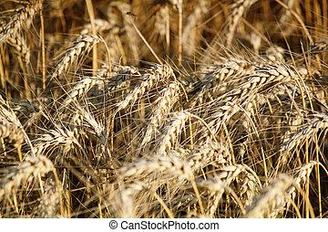 dorado, campo de trigo, plano de fondo, naturaleza