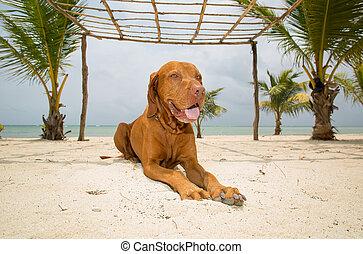 dorado, colocar, playa, perro
