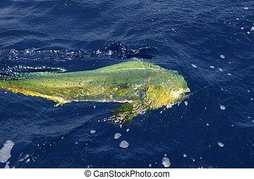 Dorado colorful fish sport saltwater fishing